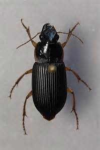 beetle from blacklight, northern Indiana 3 - Harpalus