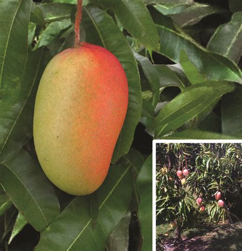 Logee's Introduces New Fruiting, Rare and Tropical Plants
