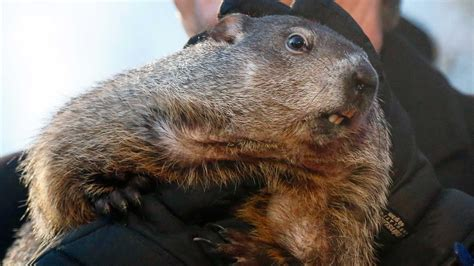 'There is no shadow to be cast': Famous groundhog predicts